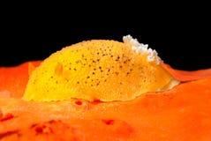 Lumaca subacquea gialla Immagini Stock Libere da Diritti