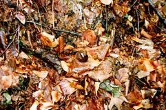 Lumaca sui fogli di autunno Immagine Stock Libera da Diritti