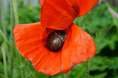 Lumaca sul fiore del papavero Fotografie Stock