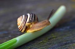 Lumaca sul gambo della cipolla di inverno Fotografie Stock
