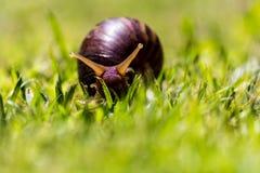 Lumaca sulla fine dell'erba su Fotografia Stock Libera da Diritti