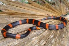 Lumaca terrestre che mangia serpente Fotografie Stock Libere da Diritti