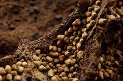 Lumache di mare sulla roccia Fotografie Stock Libere da Diritti