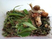 Lumache domestiche del microcosmo Tre lumache nel terrario Fotografia Stock Libera da Diritti