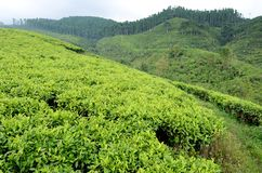 Lumajang. INDONESIA - NOVEMBER 15, 2013: Plantation in Wonokerto, , East Java, Indonesia. Tea is produced and then exported to Japan, China and European royalty free stock photo