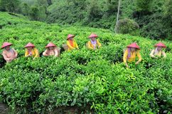 Lumajang. INDONESIA - NOVEMBER 15, 2013: Tea pickers at the plantation in  government, East Java, Indonesia. Tea is produced and then exported to Japan, China royalty free stock images