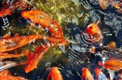 Lumajang. Ornamental fish di Kediri, East Java, Indonesia Royalty Free Stock Image