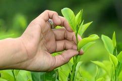 Lumajang. Tea picking hand in Wonokerto Plantation, Lumajang, East Java, Indonesia Royalty Free Stock Photo