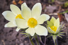 The lumbago opened or Dream grass (Latin Pulsatilla patens). A herb of Siberia during blossoming Stock Image