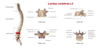 Lumbale Wirbel L3 stock abbildung