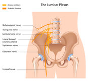 The lumbar plexus Stock Image
