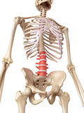 The lumbar spine. Medical accurate illustration of the lumbar spine Stock Photos