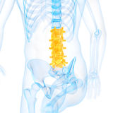 The lumbar spine Stock Photography