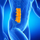 The lumbar spine. Medical illustration of the lumbar spine Royalty Free Stock Photo