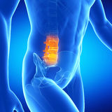 The lumbar spine Stock Images