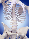The lumbar spine. Medically accurate illustration of the lumbar spine Royalty Free Stock Photos