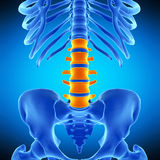 The lumbar spine royalty free illustration