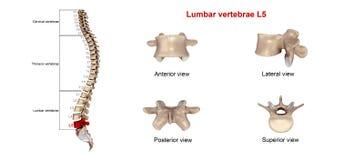 Lumbar vertebrae L5 Royalty Free Stock Photography