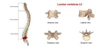 Lumbar vertebrae L5 Royalty Free Stock Photo
