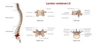 Lumbar vertebrae L5 Stock Photos