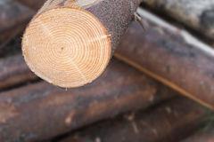 Lumber detail. Of a cross cut of pine tree Royalty Free Stock Photos