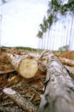 Lumber - Fallen Tree. Stack of Lumber ready for milling, low point of view with standing trees in background Stock Images
