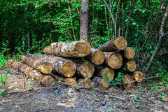 Lumber logs in the wood Stock Image