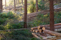 Lumber stacks. In a pineforest - sustainable small scale deforestaion Stock Photos