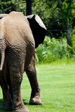 Lumbering Away Elephant Stock Images