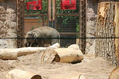 Lumbering Elephant. An elephant lumbers along at the Albuquerque zoo Stock Image