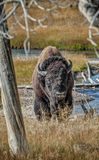 Large American Bison by River in Yellowstone Royalty Free Stock Photo