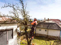 Lumberjack with chainsaw and harness pruning a tree. Arborist cuting tree branches stock image