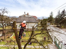Lumberjack with chainsaw and harness pruning a tree. Arborist cuting tree branches Royalty Free Stock Image