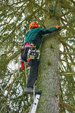 Lumberjack climbing up a tree Royalty Free Stock Photos