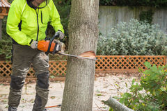 A lumberjack cuts a tree with a chain saw. A arborist, tree surgeon with a chain saw cuts into a tree in preparation for felling. The lumberjack is wearing a hi Royalty Free Stock Photography