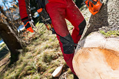 Lumberjack cutting and measuring a tree in forest Stock Photos