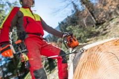 Lumberjack cutting and measuring a tree in forest Royalty Free Stock Image