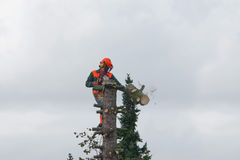 Lumberjack cutting a tree. With a chainsaw Royalty Free Stock Photo