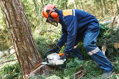 Lumberjack cutting tree in forest. Lumberjack logger worker in protective gear cutting firewood timber tree in forest with chainsaw royalty free stock photos