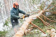 Lumberjack cutting tree in snow winter forest Royalty Free Stock Images