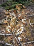 Lumberjack, drzewny powalać, drewniani kawałki, rżnięci drzewa ciie długość piłuje obrazy stock