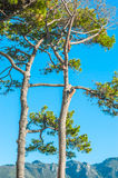 A lumberjack high up in a tree Royalty Free Stock Image