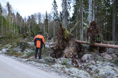 Lumberjack Inspecting fallen trees Royalty Free Stock Images