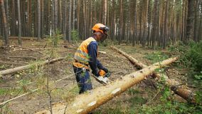 Lumberjack logger worker in protective gear cutting firewood timber tree in forest with chainsaw.  stock footage