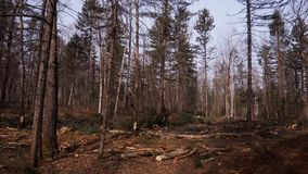 Lumberjack logger worker in protective gear cutting firewood timber tree. In forest with chainsaw stock video footage