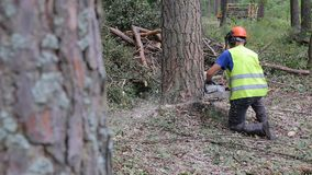 Lumberjack logger worker in protective gear cutting firewood timber tree in forest with chainsaw. HD video stock video