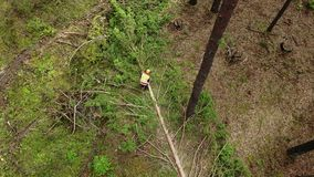Lumberjack logger worker in protective gear cutting firewood timber tree in forest with chainsaw.  stock video footage