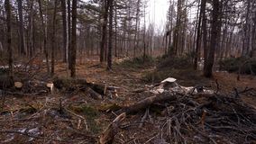Lumberjack logger worker in protective gear cutting firewood timber tree. In forest with chainsaw stock footage