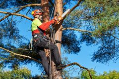 Arborist at work. Lumberjack with saw and harness climbing a tree Stock Image