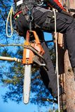 Arborist at work. Lumberjack with saw and harness climbing a tree Royalty Free Stock Photo